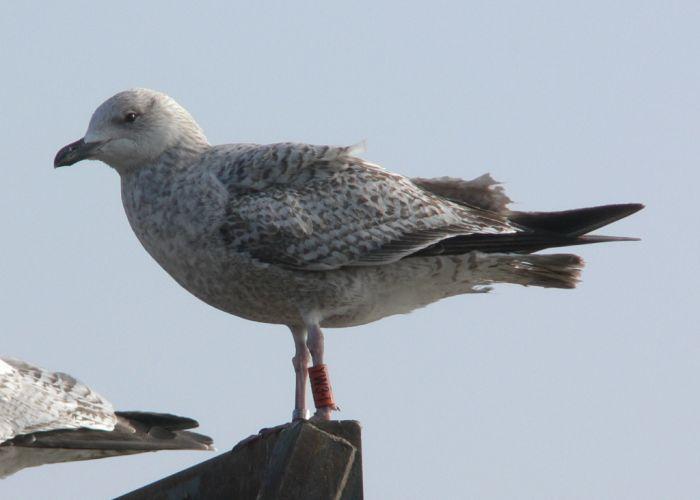 Herring Gull / 3 / Wandsworth Bridge, Greater London / 02 Mar 2011 © N Mahieu