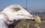 Yellow-legged Gull © P Roper